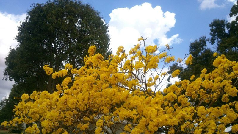 Araguaney Venezuela Hermosas Flores Amarillas Tree Beautiful Yellow Flower Yellow