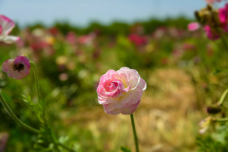Close-up of pink rose in field