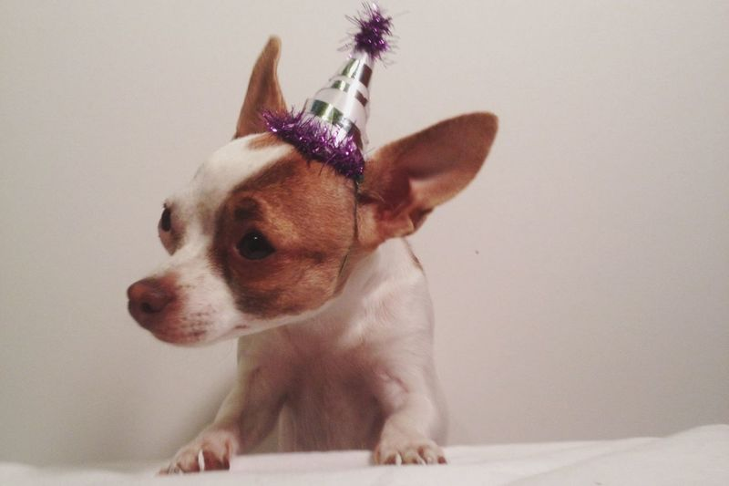 Close-up of chihuahua wearing party hat against wall
