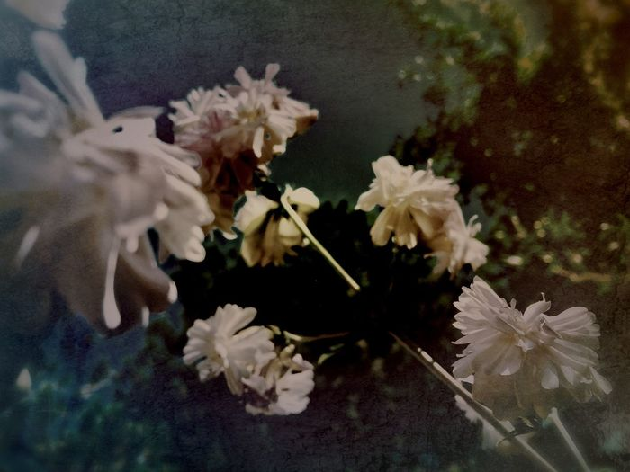 Fading Light Faded Beauty Muted Colors Faded_world Haze Fade Flower Fragility Petal Flower Head Beauty In Nature White Color Freshness Nature Blossom Stem Blooming Growth Plant Close-up Springtime No People Day Outdoors