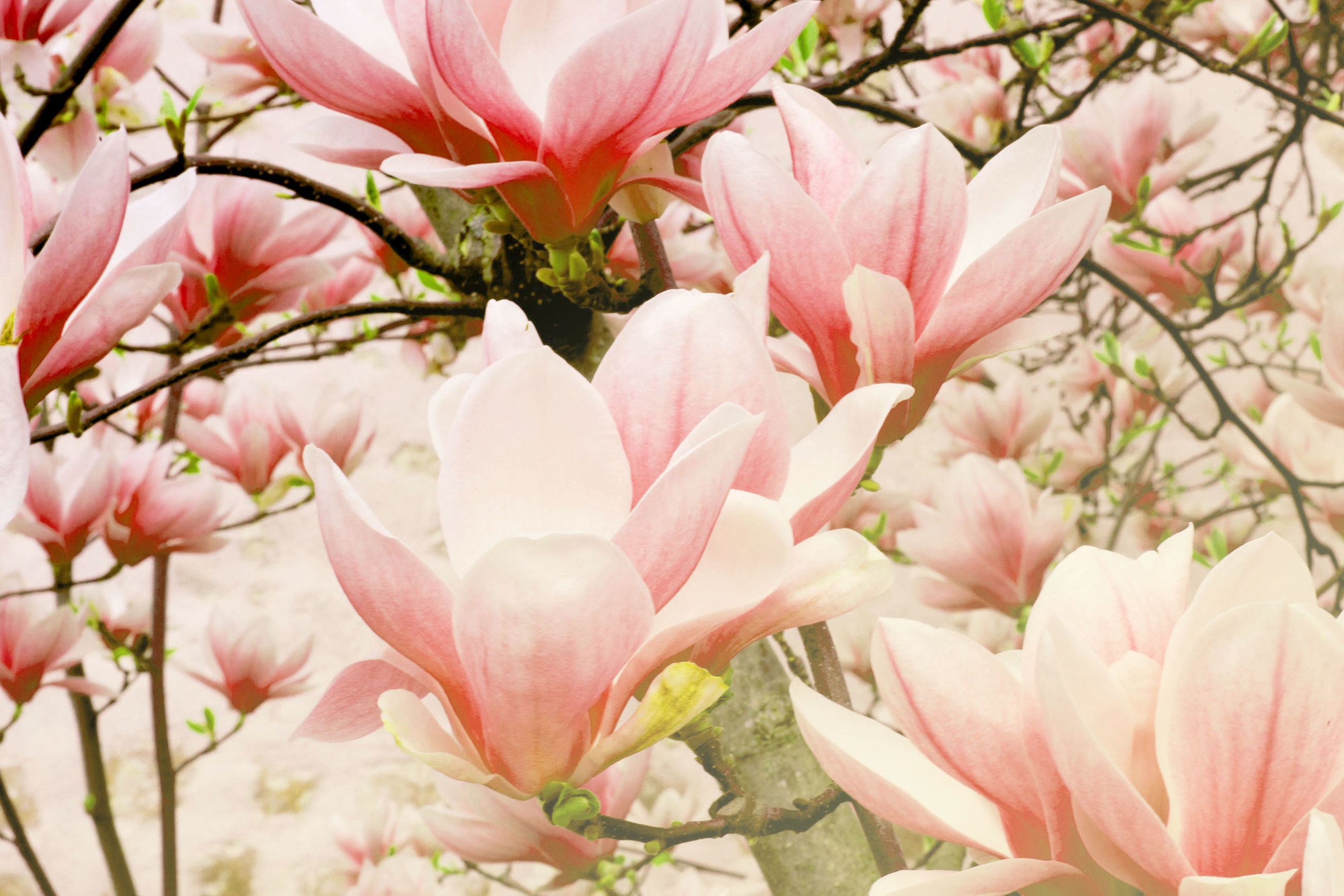 flower, flowering plant, plant, pink color, beauty in nature, fragility, vulnerability, freshness, growth, petal, close-up, inflorescence, no people, springtime, nature, day, blossom, flower head, botany, tree, outdoors, cherry blossom, spring