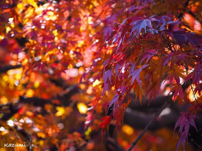紅葉のイルミネーション🍁✨ Autumn Change Leaf Tree Beauty In Nature Maple Tree Maple Leaf Outdoors Growth No People Day Maple Tranquility Branch Scenics Red Close-up Fragility Autumn Leaves Autumn Collection Autumn🍁🍁🍁 MapleWoods
