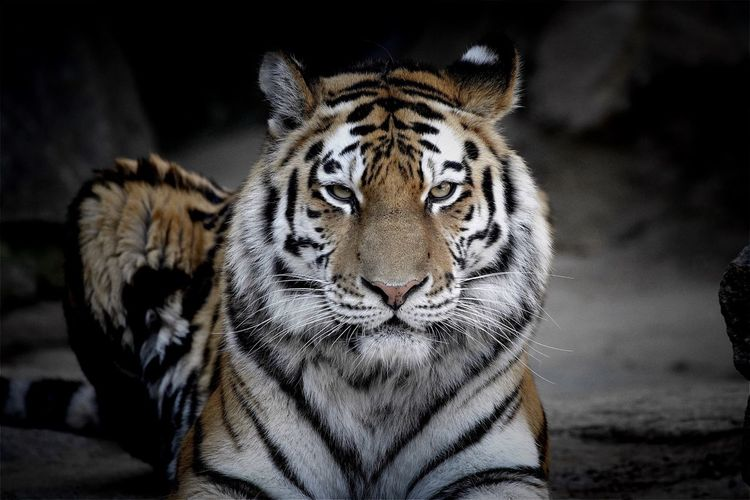 Portrait Of Tiger Sitting On Field At Zoo