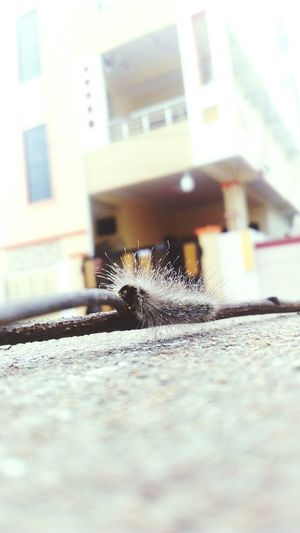 Caterpillar Insect Photography Attack Of The Macro Collection! EyeEm Gallery EyeEm Best Edits Macro Insects Eyeem Insects Hairy Caterpillar! #nature#garden#macro The Caterpillar Being A Caterpillar