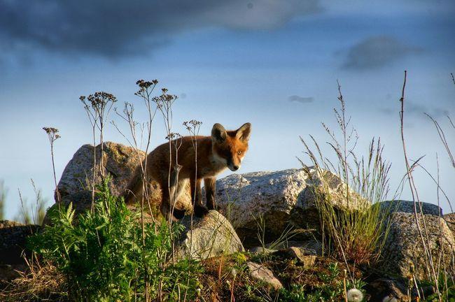 Lis Fox Przyroda Nature Zwierzęta Animals