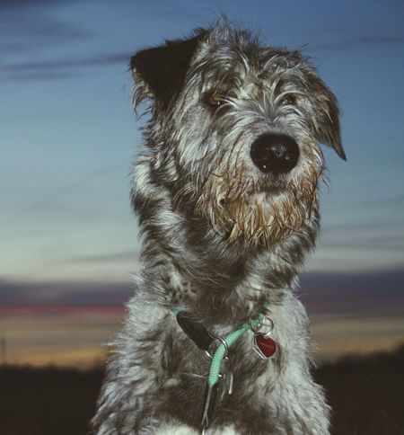 Cheese! Hi! Taking Photos Nature_collection Sundown...♥ Animal_collection Dogoftheday Dogsofinstagram Cearnaigh Dog Of The Day I Love My Dog❤ Irish Wolfhound Dogwalk My Dogs Are Cooler Than Your Kids Dogslife Irishwolfhound I Love My Dog Autumn 2015 Dezember How's The Weather Today? The Places I've Been Today