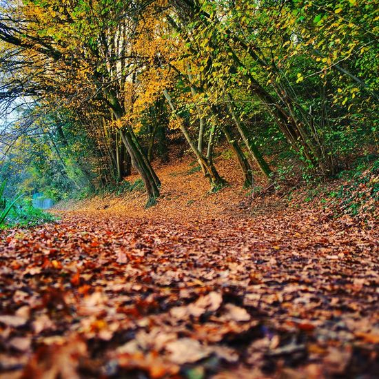 Fallen leaves on footpath in forest during autumn
