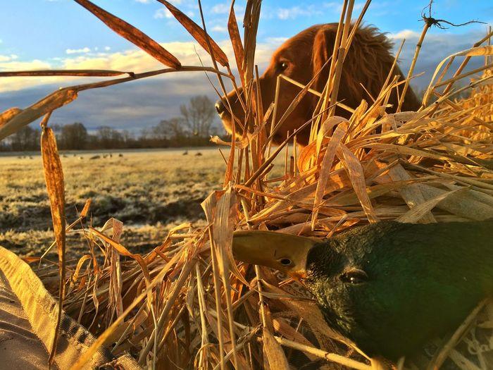 Golden retriever by hay in field