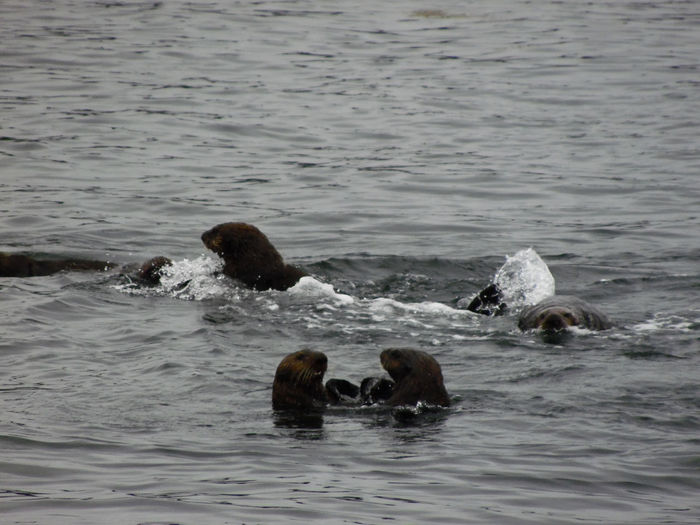 Raft Of Seaotters SeaOtter Animal Family Animal Wildlife Animals In The Wild Go Higher Group Of Animals Marine Nature No People Outdoors Sea Water Waterfront