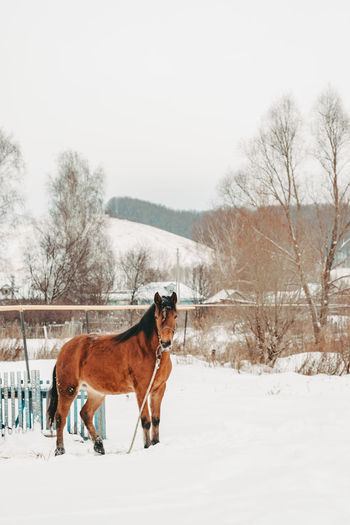 Red-haired horse on the background of a winter landscape. horse in the winter