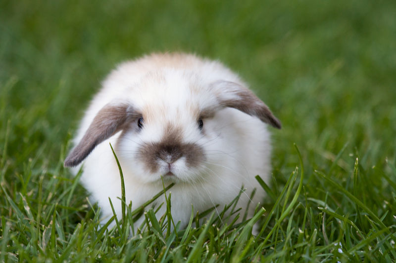 Bunny rabbit Grass Cute Animal Pets One Animal Portrait Looking At Camera Young Animal Domestic Animals Mammal Outdoors Pet Pet Portraits Bunny Love French Lop Rabbit Lop Eared Rabbit Green Grass Easter Bunny Spring
