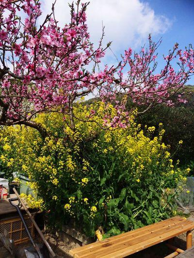 桃の花 菜の花 庭 畑 春 Garden In A House Peach Tree Rape Blossom Spring
