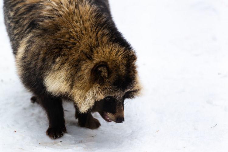Raccoon Racoon Raccoon Raccoon Dog Animal Animal Themes Snow One Animal Winter Mammal Animals In The Wild Animal Wildlife Vertebrate Animal Hair
