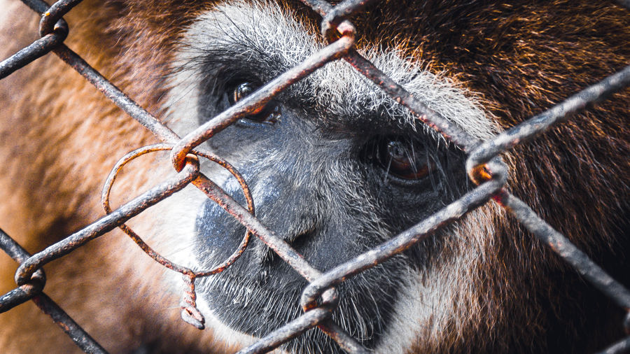 Most species are endangered, primarily due to degradation or loss of their forest habitats.[24] On the island of Phuket in Thailand, a volunteer-based Gibbon Rehabilitation Center rescues gibbons that were kept in captivity, and are being released back into the wild. Kalaweit Project also has gibbon rehab centers on Borneo and Sumatra. The IUCN Species Survival Commission Primate Specialist Group announced 2015 to be the Year of the Gibbon and initiated events to be held around the world in zoos to promote awareness of the status of gibbons. Mammal Animal Animal Themes One Animal Monkey Primate Close-up Animal Wildlife Vertebrate Animal Body Part Animal Head  Domestic Animals Day Domestic No People Livestock Ape Pets Outdoors Brown Animal Eye Herbivorous Gibbon