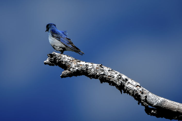 Mountain Bluebird perched on a branch. Bird Photography Birdwatching Blue Bird Clear Sky Animal Themes Animal Wildlife Animals In The Wild Beauty In Nature Bird Blue Blue Sky Branch Clear Sky Close-up Day Mountain Bluebird Nature No People Old Branch One Animal Outdoors Perching Tree