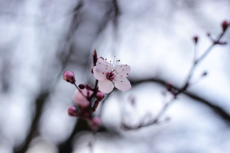 Flower Nature Growth Fragility Beauty In Nature Close-up Tree Freshness Petal No People Twig Day Branch Outdoors Flower Head Sky Plum Blossom CanonEOS600D Canonphotography Canoneos Canon600D Canon Millennial Pink