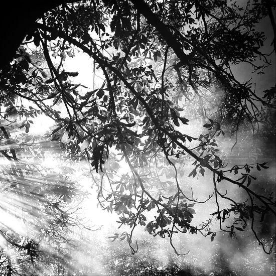 Light Ray Tree Nature