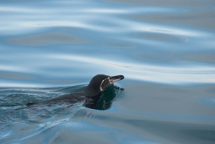 Close-up of penguin swimming in sea
