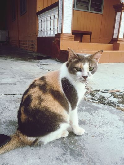 Pet Portraits Mynameismanis Malaysiancat Fatcat  Catpotrait