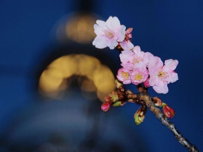 東京スカイツリー Tokyoskytree 河津桜 Cherry Blossoms ゆっくりだけど春の足音が近づいて来てますね🎵