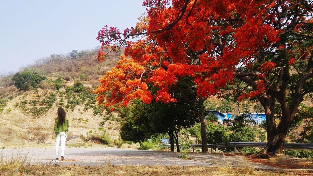 凤凰树系列9 Tree Red Sky Plant