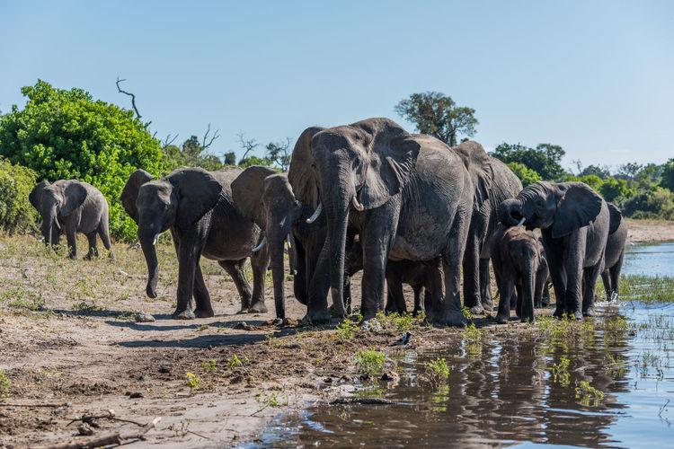 Elephant Family In River Against Sky