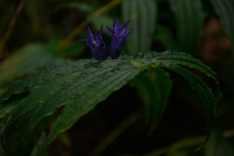 Beauty In Nature Close-up Flower Flower Head Flowering Plant Fragility Freshness Green Color Growth Leaf Nature No People Petal Plant Plant Part Purple Selective Focus