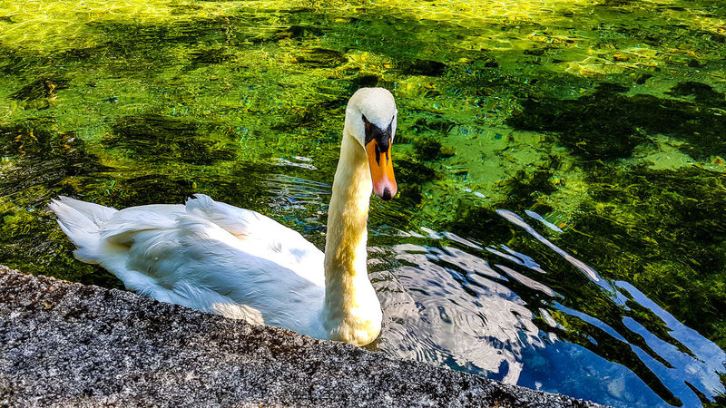 Beautiful swan waiting for food :) High Angle View Water Day Animals In The Wild Nature No People Animal Themes Outdoors Green Color Lake Bird Grass Swan Bosnia And Herzegovina Travel Destinations Bosna I Hercegovina Bosna Bosnahersek Sarajevo Sarajevobosnia Galaxy Camera Samsungmobgraphia Galaxys7 Samsung Galaxy Camera Samsungphoto Breathing Space