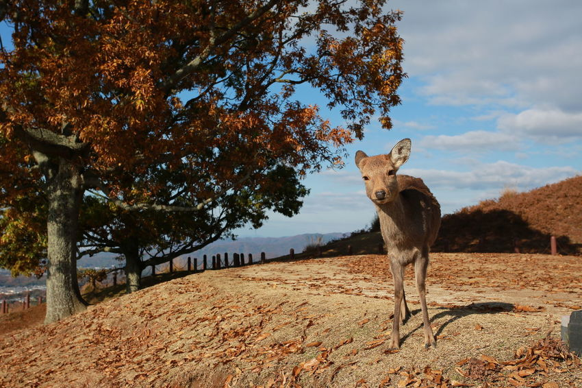 deers in Mount Wakakusa Animals In The Wild Autumn Japan Japan Photography Japanese Deer Nara Animal Themes Day Deers Landscape Mammal Nature Outdoor Photography Outdoors Peak Sika Deer Small Animals Spotted Deer Wakakusayama EyeEm Selects