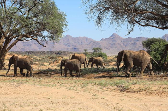 Africa Animal Themes Animals In The Wild Arid Climate Clear Sky Damaraland Desert Desert Elephant Elephant Familiy Grazing Group Of Elephants Herbivorous Herd Landscape Mammal Medium Group Of Animals Namibia Safari Animals Togetherness Walking Wildlife