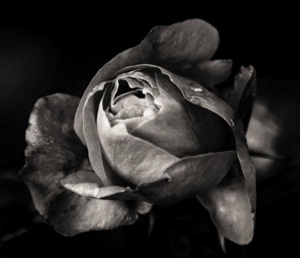 Close-up of wet rose against black background
