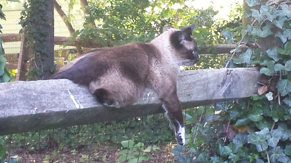 Hangin' out on the fence. Hangin' Out Hanging Out Relaxing Animal Themes Animals In The Wild Cat Close-up Day Fence Mammal Nature No People One Animal Outdoors Pets Siamese Cat Split Rail Fence