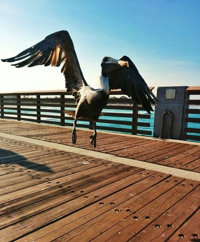 Pelican, ready for takeoff. Beach Birds