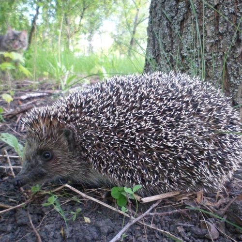 new friend of my cat Hedgehog Hedgehogs Hedgehogsofinstagram Animal Themes Animals In The Wild Outdoors One Animal Nature Animal Wildlife No People Nature Beauty In Nature Eyemphotography Nature Lover Eyeemphotography EyeEm Gallery Nature On Your Doorstep Close-up