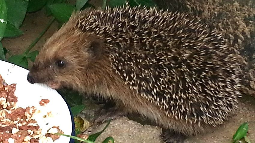 Igel Hedgehog Hoglet Igeljunges Tier Animal Natur Nature Hungry Hungrig Igelhilfe Hedgehog Rescue Rettung Rescue Igelüberwinterung Hedgehog Wintering Überwinterung Wintering Garden Garten Animal Sweet Tier Nützlich Outdoors Beautifully Organized My Year My View