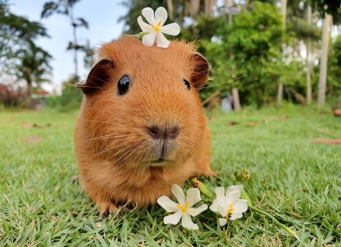 Close-up of a guinea pig on field