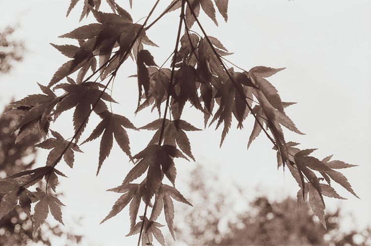 For the first time in years I shot a roll of black & white film. https://mansfield-devine.com/zolachrome/2018/07/a-canon-a-roll-of-film-and-delayed-gratification/ Beauty In Nature Branch Day Leaf Leaves Nature Outdoors Plant Tree