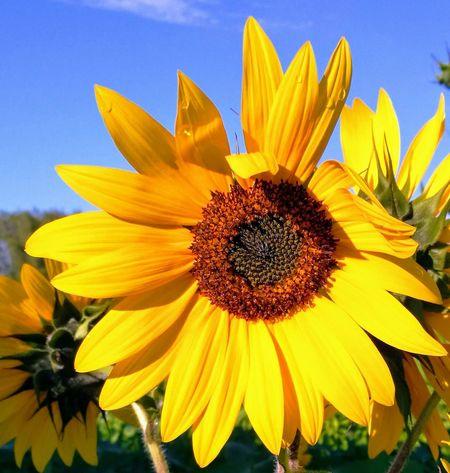 Flower Head Black-eyed Susan Flower Yellow Petal Pollen Sunflower Beauty Springtime Sky