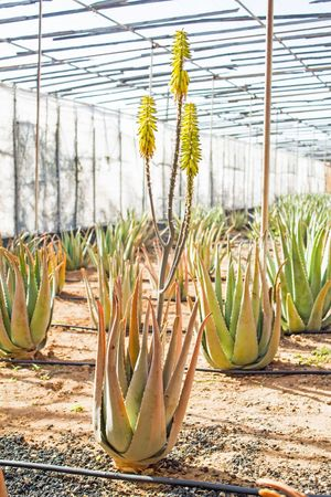 Aloe Aloe Vera Canary Islands Cultivo Gran Canaria Green Islas Canarias Nature Agriculture Aloe Vera Plant Anbau Beauty In Nature Cultivation Day Freshness Garden Greenhouse Growth Kanarische Inseln Nature No People Pflanzen Plant Plantación Plantage