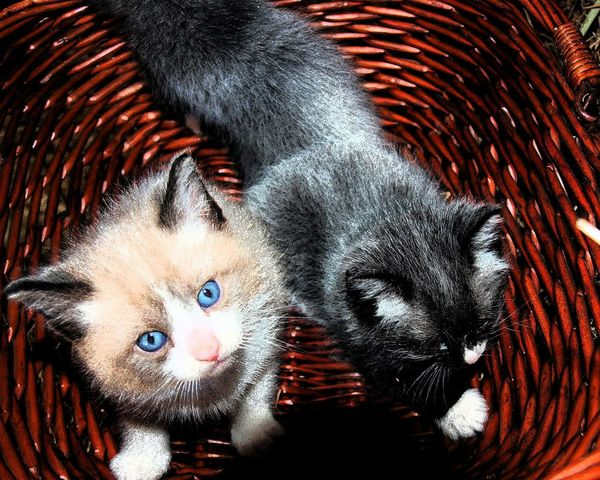 Mix Yourself A Good Time Basket Full O' Fluff Kittens Basket Kittens In Basket Playing Playful Kittens Fluffy Kitten Grey Kitten Black Kitten Blue Eyes Looking At Camera Indoors  Animal Themes Pets Domestic Animals EyeEmNewHere The Week On EyeEm Pet Portraits Perspectives On Nature