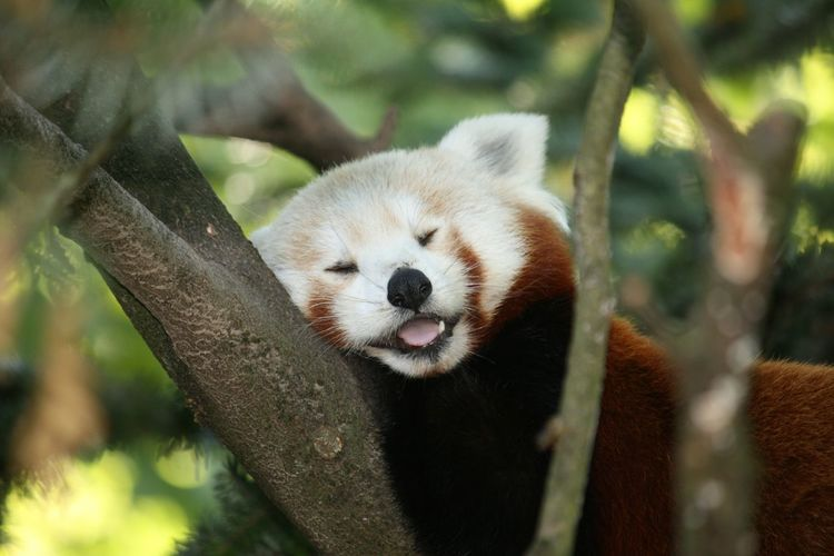 Red Panda Asleep On Tree Branch