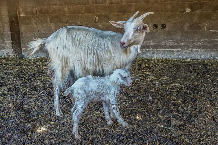 Animal Animal Themes Animals In The Wild Antler Baby Animals Candid Day Farm Farm Life Farmland Field Goat Mammal Nature New Born New Born Animal No People One Animal Outdoors Sheep Sheeps Sony Rx100 M3