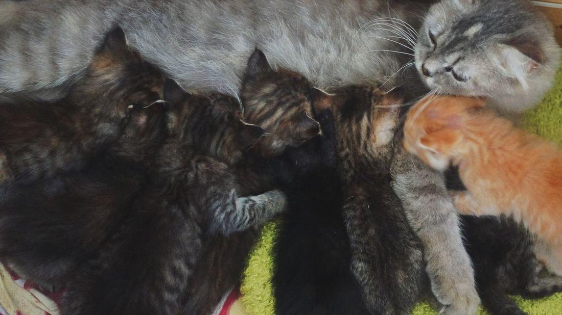 Cat Kitten Eat Time Milk Time Eat Mothernature