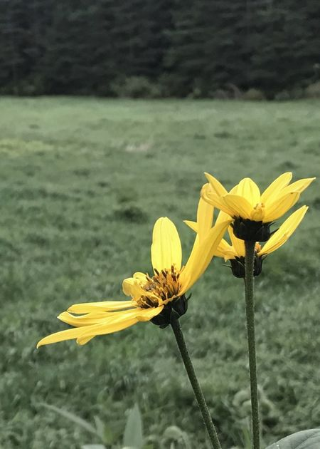 Yellow flowers in the landscape. Yellow Flower Petal Flower Head Plant Focus On Foreground Close-up Botany Blooming Vertical Freshness No People Black-eyed Susan