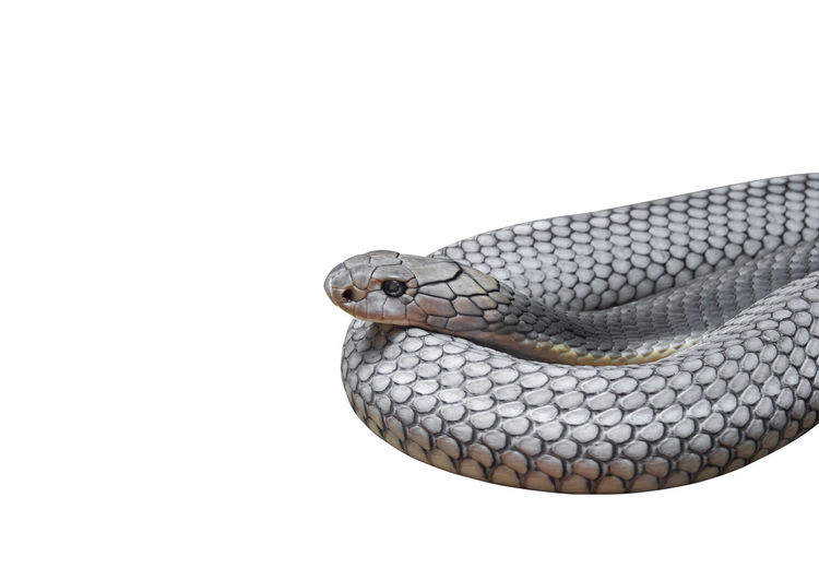 Close-up of snake against white background