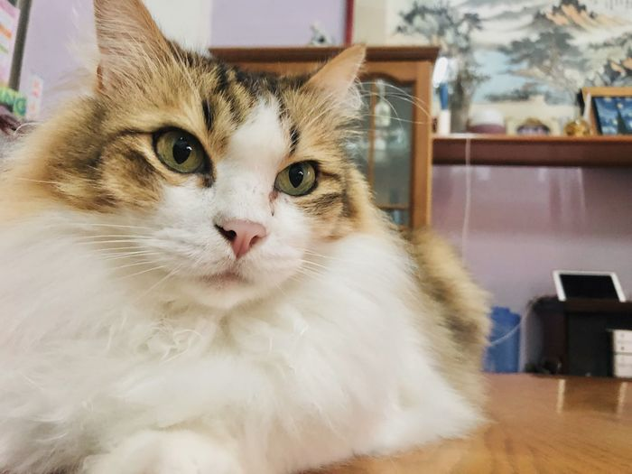 Close-up portrait of cat at home