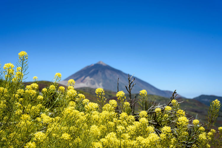 Scenic view of the El Teide volcano on Tenerife island on a sunny day El Teide Nature Travel Traveling Beauty In Nature Clear Sky Copy Space Environment First Eyeem Photo Growth Landscape Mountain Mountain Peak Non-urban Scene Outdoors Plant Scenics - Nature Tenerife Tranquil Scene Travel Destinations Yellow