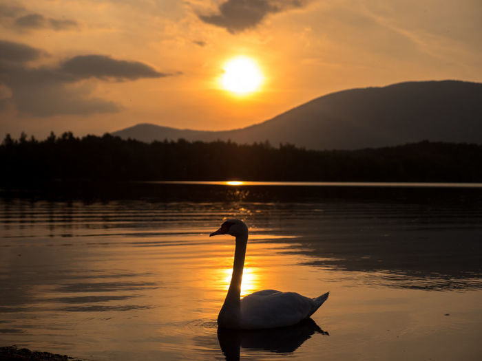Silhouette swan on lake against sky during sunset