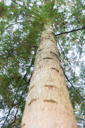 Look up a tree, pine tree Tree Bamboo - Plant Bamboo Grove Beauty In Nature Branch Close-up Day Forest Growth Low Angle View Nature No People Outdoors Pinetrees Sky Tall - High Tree Tree Trunk