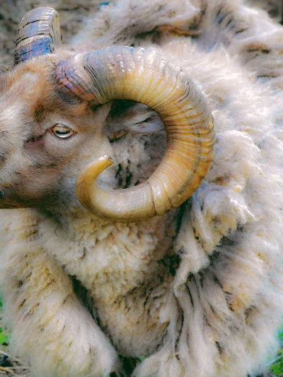 Ram of a different color RAM Farm Farm Life Farmland Rams Horn Sheep Fur Close-up Agricultural Field Bale  Hay Bale Cultivated Land